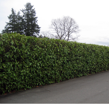 A tall hedge next to a driveway